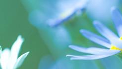淡い青の花